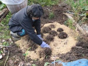 種芋保存2