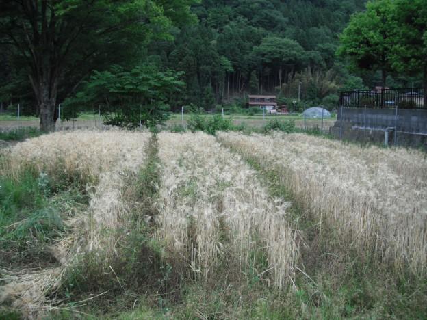 大麦刈り取り1